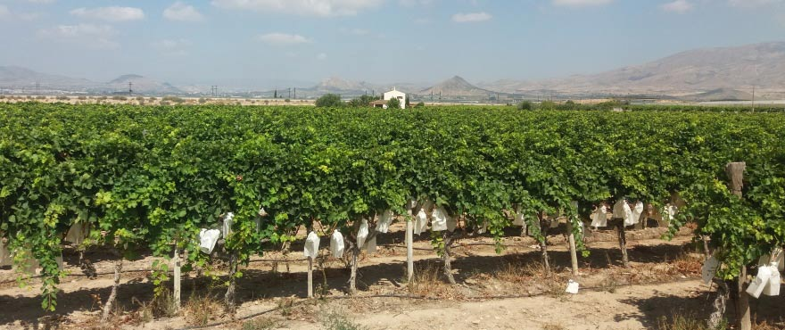 Vineyards close to Alenda Golf, Alicante - Elche