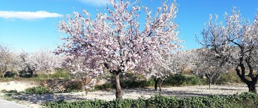 Almendros en flor junto a Kiruna Residencial, Elche - Alicante
